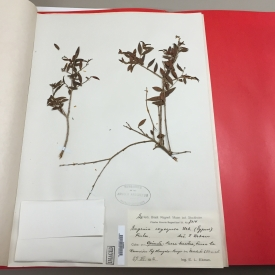 Harvard Herbaria - Leaves